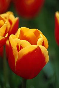 Tulip+