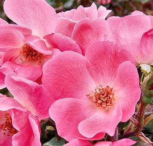 Pink_knockout_rose