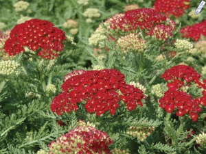 Achillea_pomegranate_small