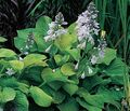 Hosta-honeybells-bohyska
