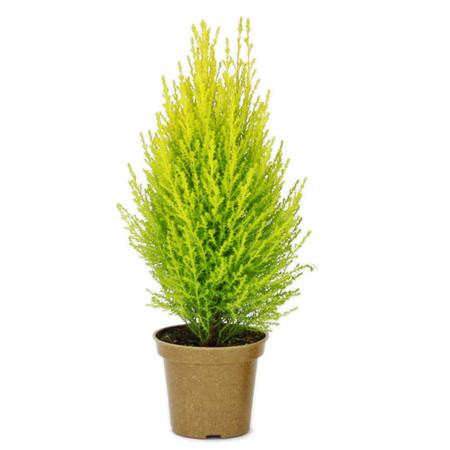 -Lemon-Cypress-Cone