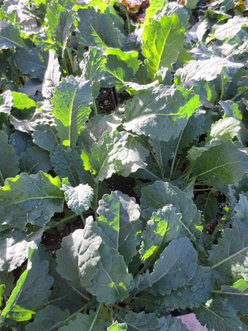 'Black Tuscan' Kale