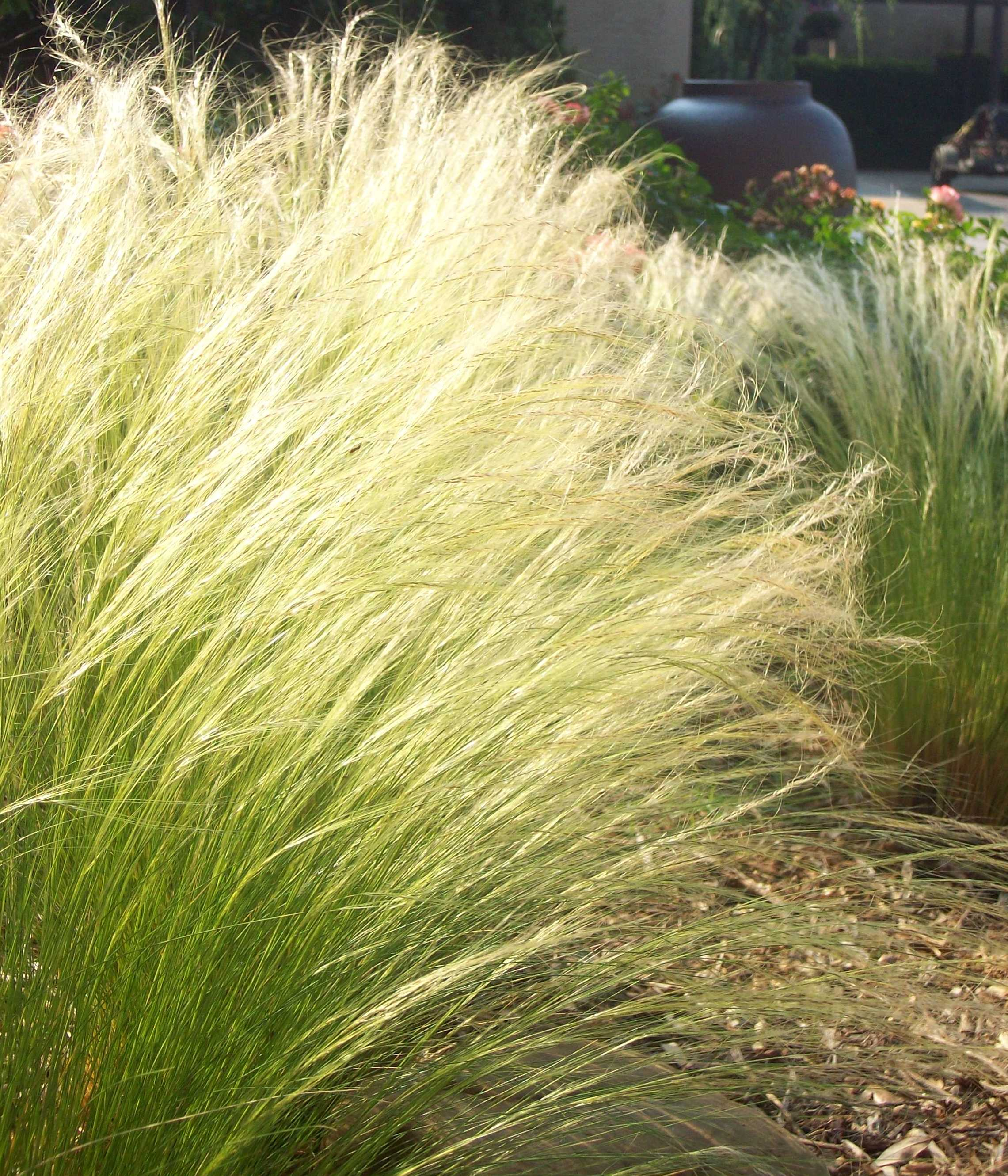 Low growing ornamental grasses - Mexican Feather Grass