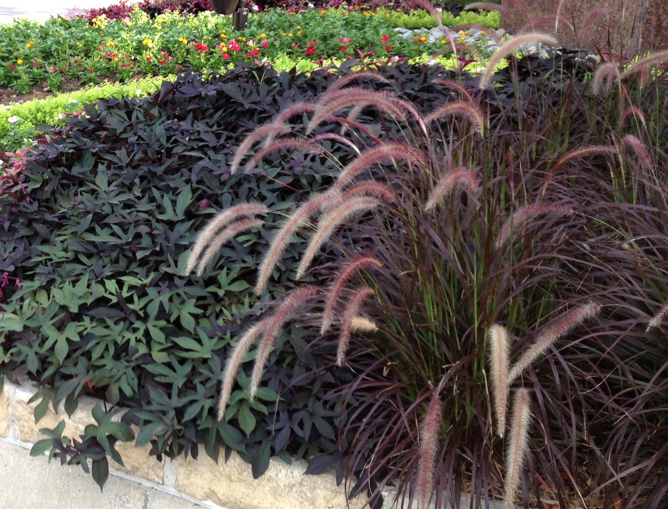 Ornamental grasses texas landscapes beatiful landscape for Tall purple ornamental grass