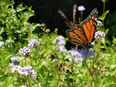 Monarch-on-greggs-mist