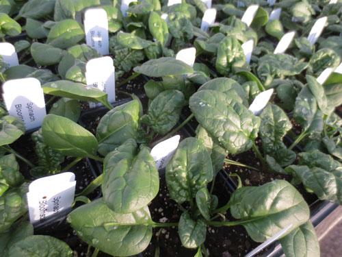 Spinach Transplants
