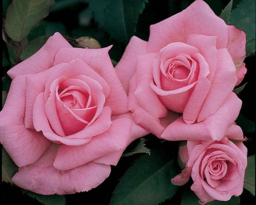 Earth-Kind® Rose 'Belinda's Dream'