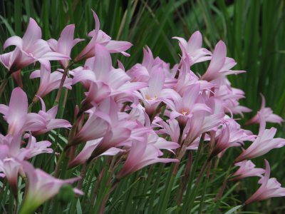 Rain lilies _004520
