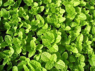 Herb - Mint, Spearmint