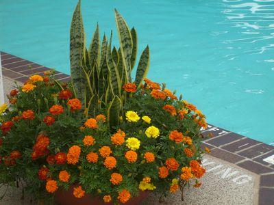 Marigold sansiveria pots