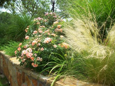 'Peach Drift' Roses and grasses