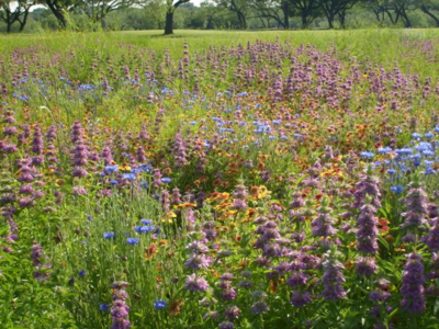 Beautiful native Texas wildflowers