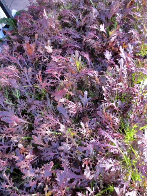 Mustard greens 'Ruby Streaks'