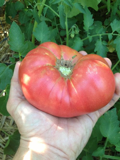 A fully ripened tomato