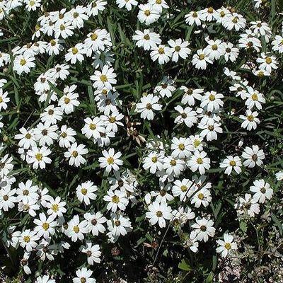 NHG_April_blackfoot_daisy_crop