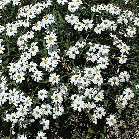 Perennial favorites for texas gardens nhgaprilblackfootdaisycrop mightylinksfo