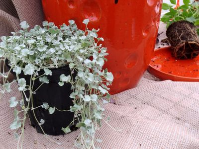 Dichondra for color containers