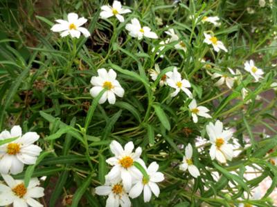 Native Blackfoot daisy