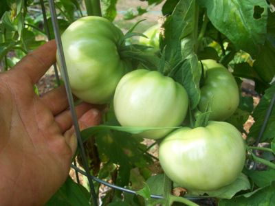 Tomato planting times are frequently a source of confusion.