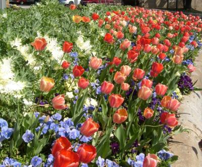 'Gudoshnik' tulips