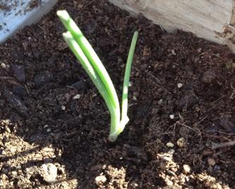 Onion slip planted