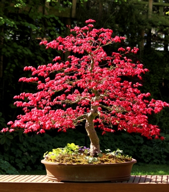 Jap maple bonsai
