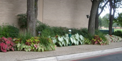 Caladium sidewalk