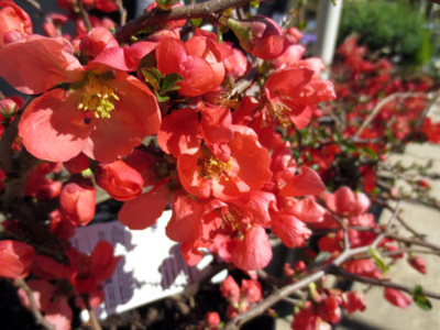 Flowering Quince (Chaenomeles sp.)