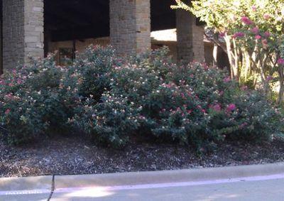 KO rose landscape