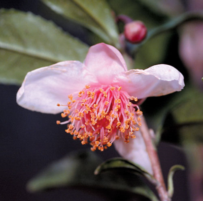 'Red Leaf Tea' Camellia