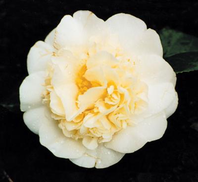 'Jury's Yellow' Camellia