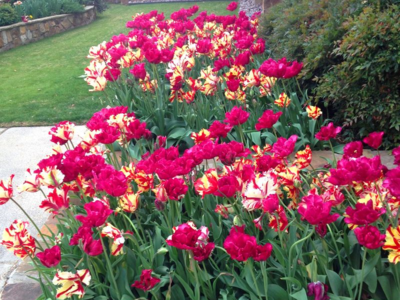 Bold, contrasting tulips