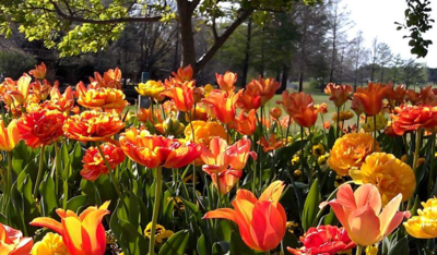 Threedom Tulips
