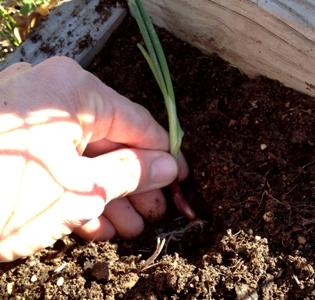 Onion slip planting