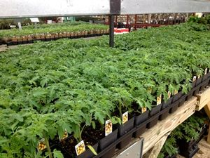 Tomato transplants at NHG