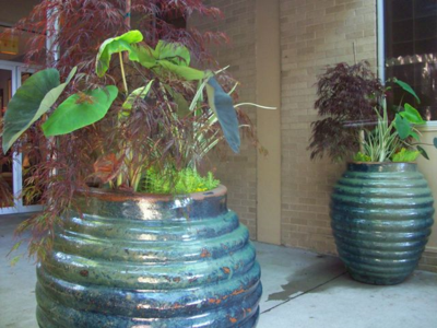 Japanese maple pots
