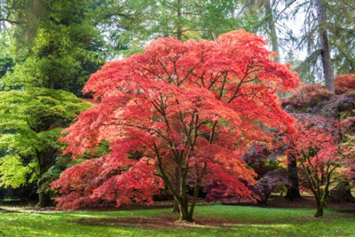 Japanese maple understory