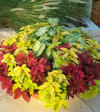 Caladium coleus container WEB