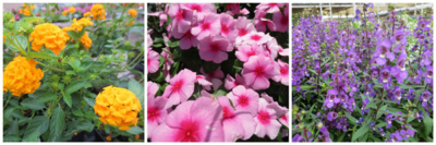 heat-loving annuals