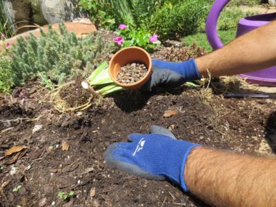 Planting Iris rhizomes