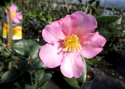 'Winter's Star' Camellia