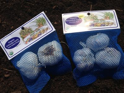 Garlic selection WEB