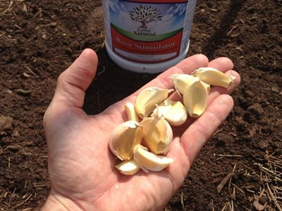 Garlic cloves WEB