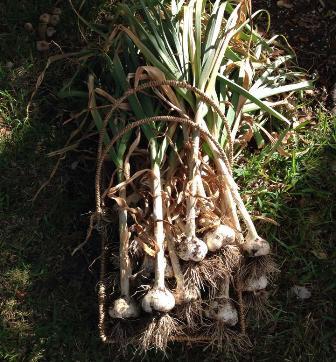 Sandi Garlic WEB