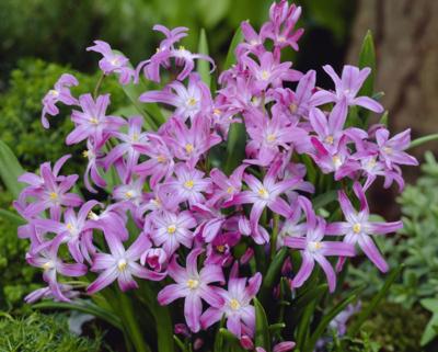 49848 chionodoxa luciliae Pink (2)