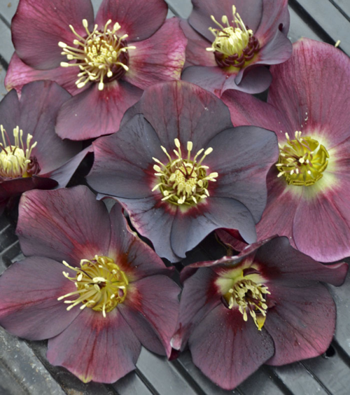 Helleborus-Rome-In-Red_CJW1