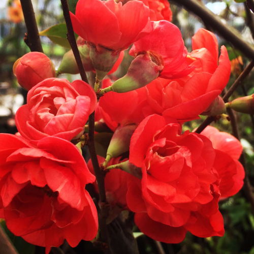 Flowering Quince, (Chaenomeles 'Chojuraki') at North Haven Gardens.