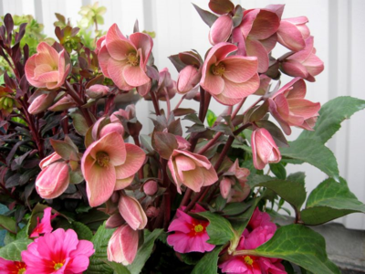 HELLEBORUS GoldCollection PinkFrost