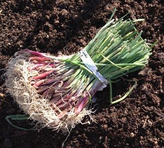 Onion bunch