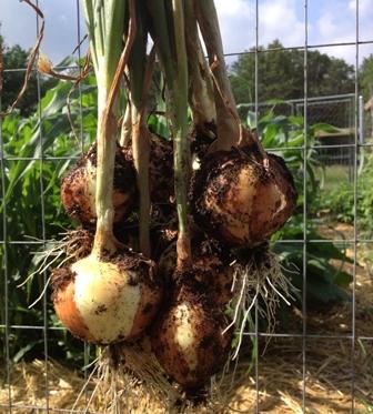 OnionharvestWEB